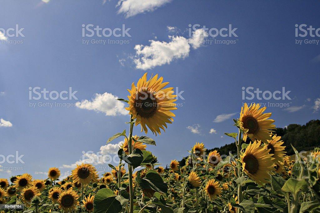 Sonnenblumen foto stock royalty-free