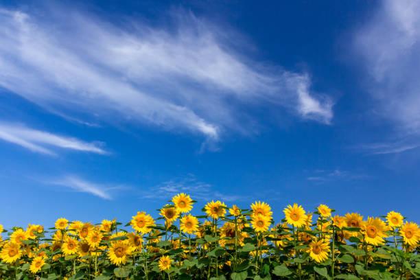 sonnenblumen - sonnenblume stock-fotos und bilder