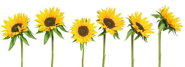 Sonnenblumen – Foto