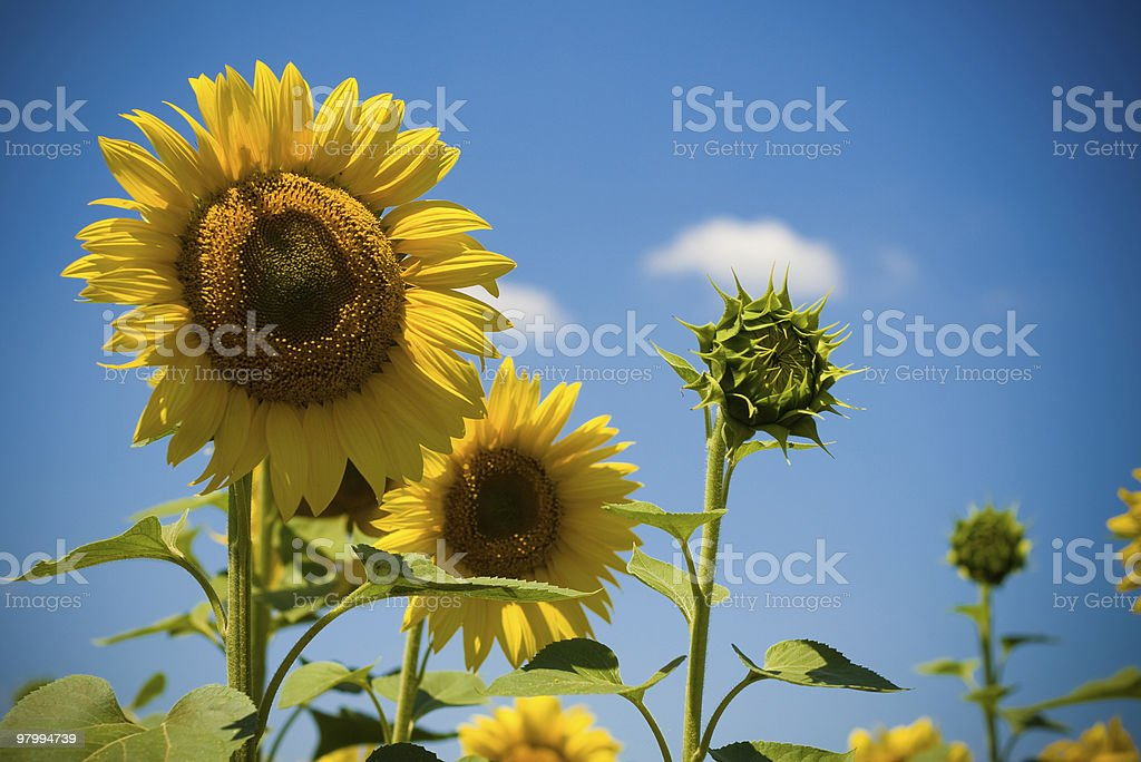 sunflowers royalty free stockfoto