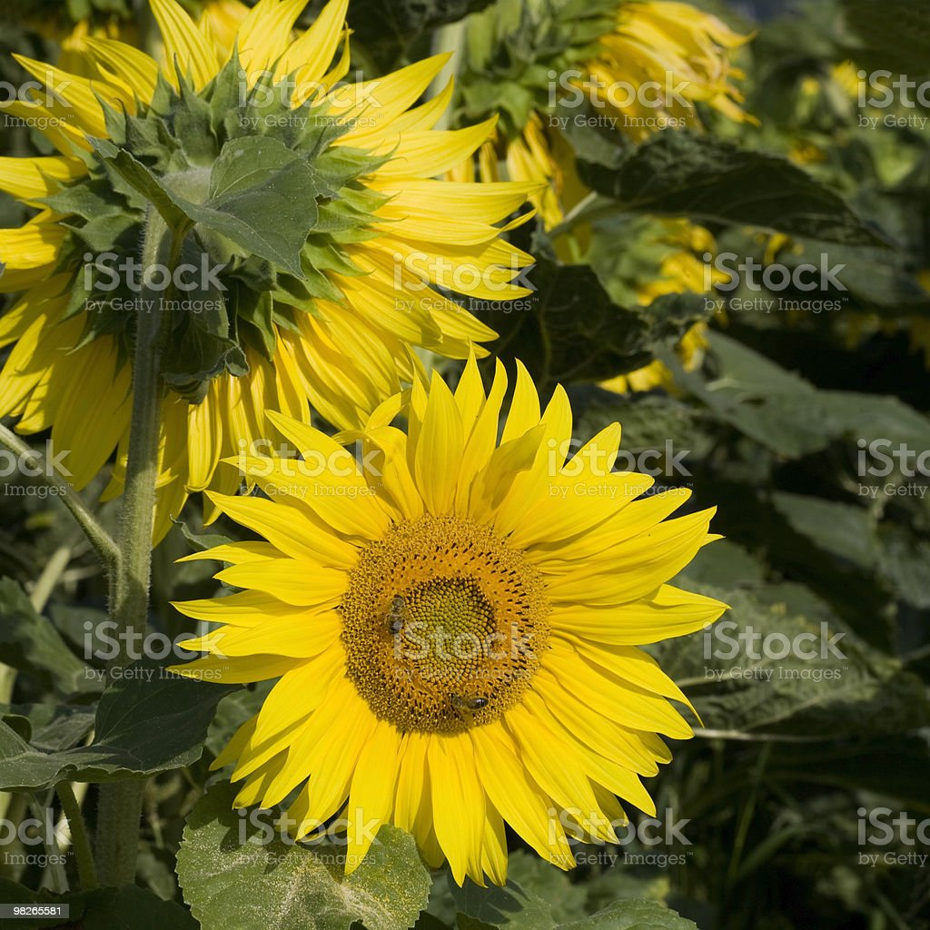 Sonnenblumen royalty-free stock photo