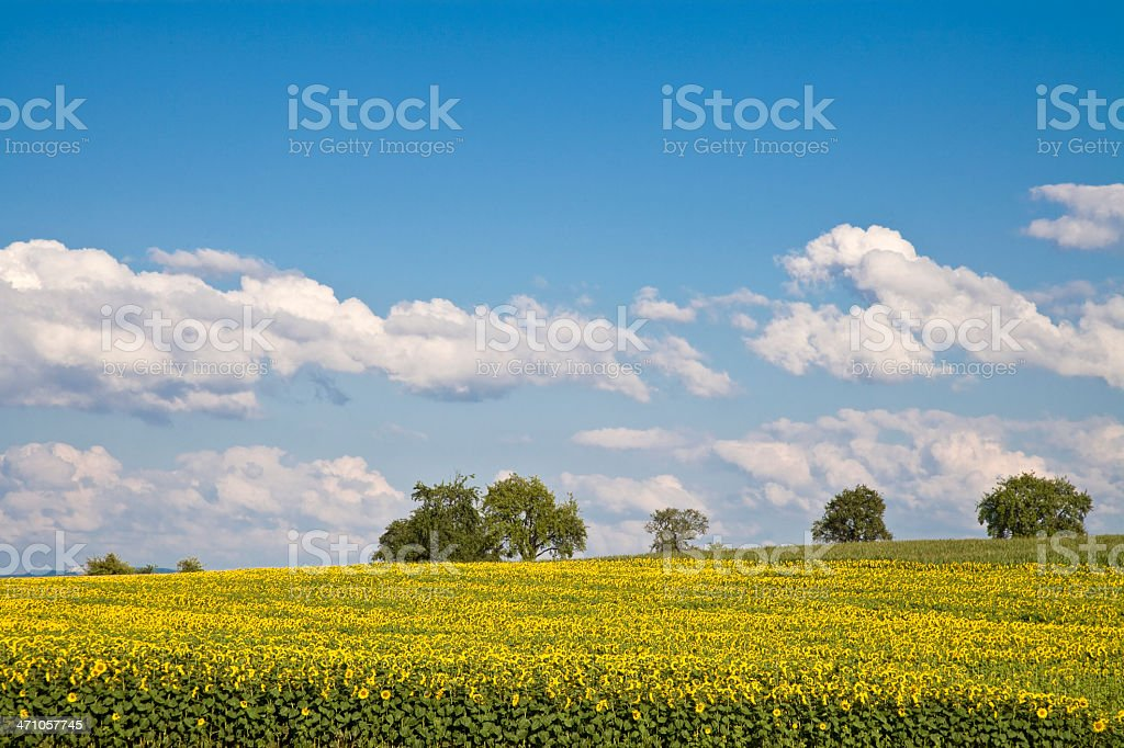 sunflowers to the horizon royalty-free stock photo