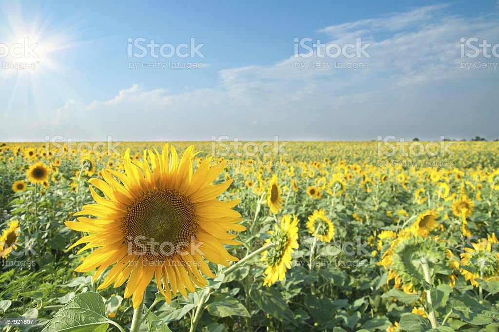 sunflowers with sun royalty-free stock photo