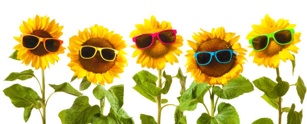 Sunflowers with sunglasses picture id695971470?b=1&k=6&m=695971470&s=612x612&w=0&h=yt7fd3 q62dm6khywzyobtkpksdhp1v9jrr9l3xjoau=