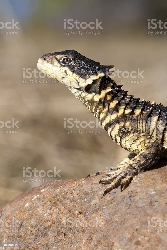 Sungazer lizard looking up royalty-free stock photo