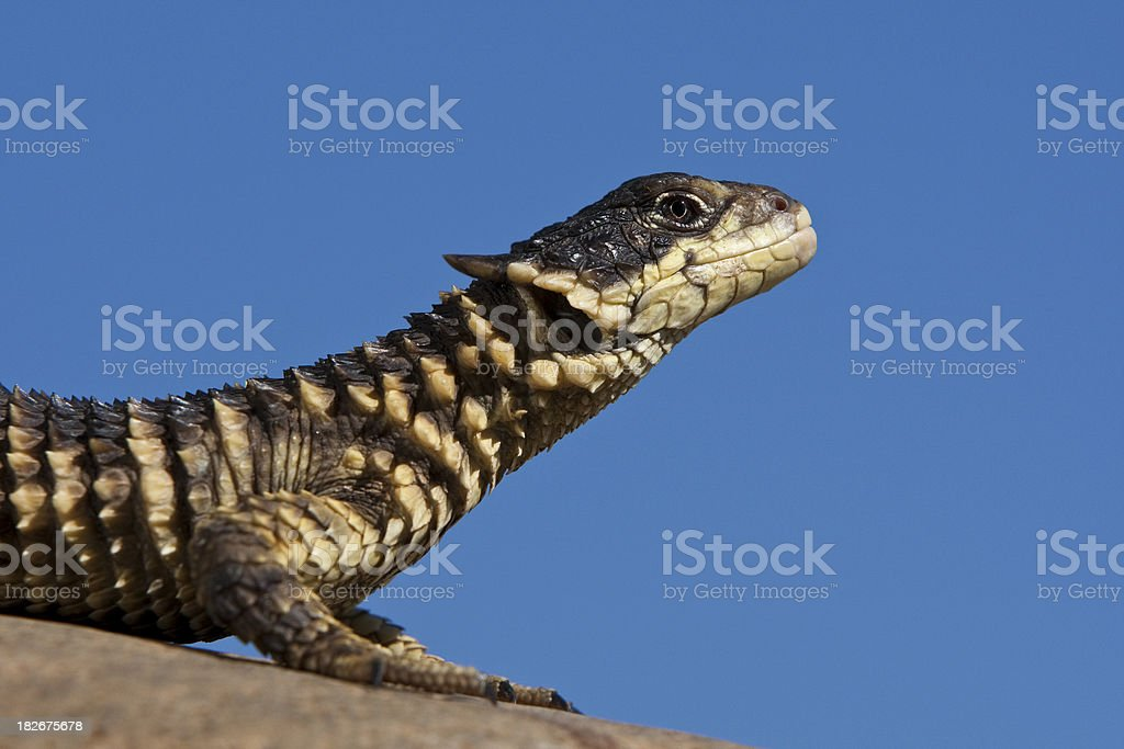 Sungazer Lizard stock photo