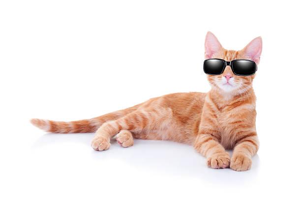 Sunglasses cat picture id501617471?b=1&k=6&m=501617471&s=612x612&w=0&h=t78 8e6rzwliiutnjzutsldhjp9wltdcab53xn2lm4s=