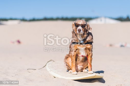 A beautiful sunglasses- wearing golden dog rides in style on a surfboard setting on a sandy beach. There are no other humans or animals in sight.