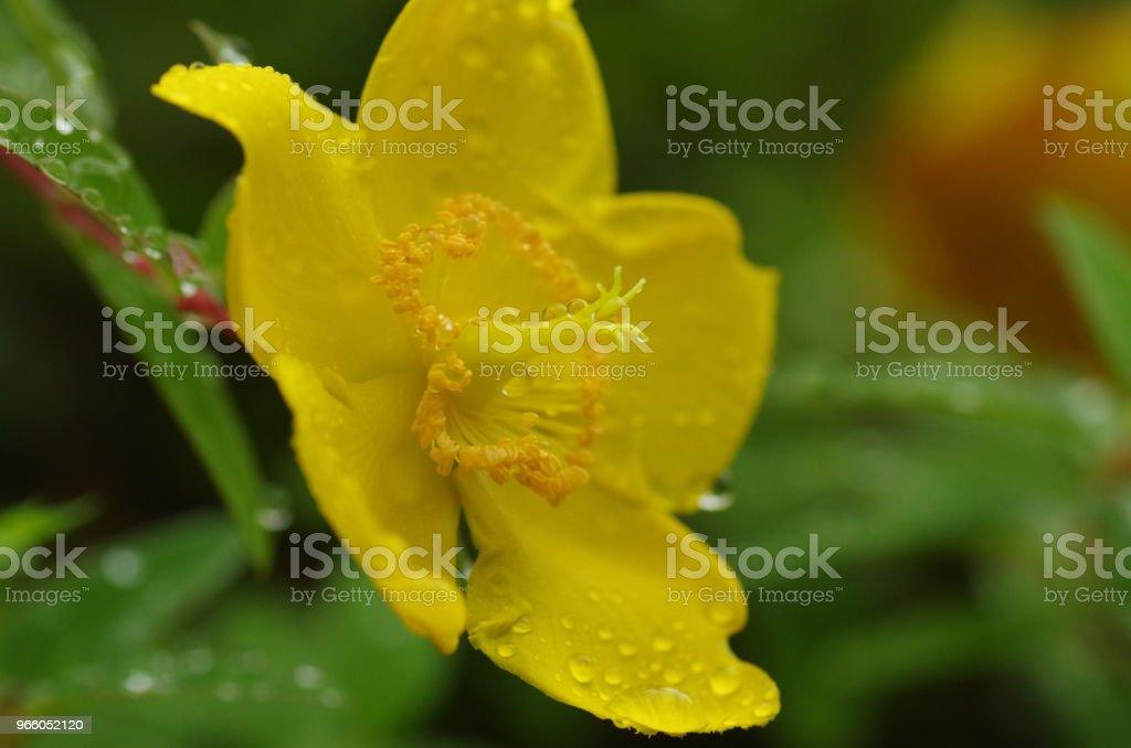 Sungold St.John's johannesört (Hypericum patulum) - Royaltyfri Blomma Bildbanksbilder