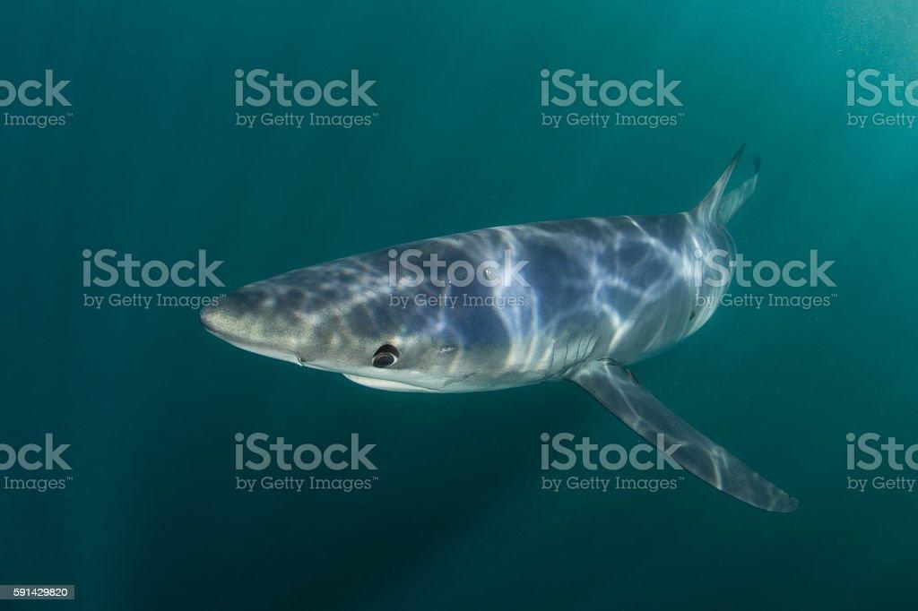 Sunlight and Blue Shark stock photo