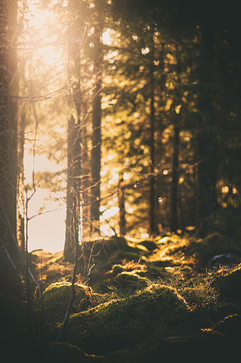 Sunlight shining through the spruce trees at the edge of a forest.