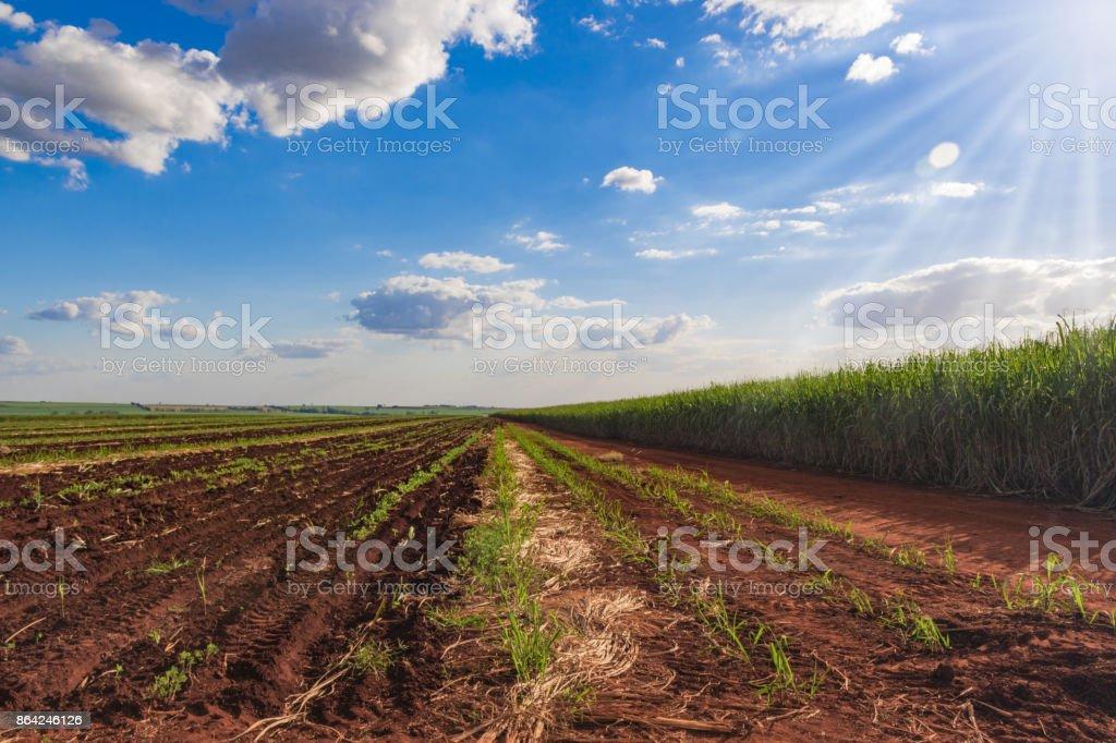 Sunlight at the sugarcane plantation landscape royalty-free stock photo