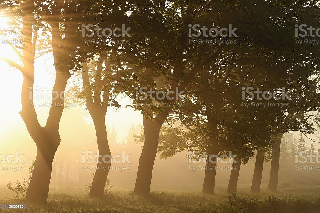 Sunlight backlit maple trees royalty-free stock photo