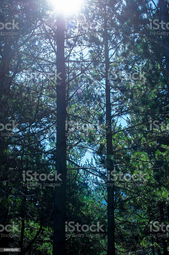 Sunlight beaming through the fir trees in the forest photo libre de droits
