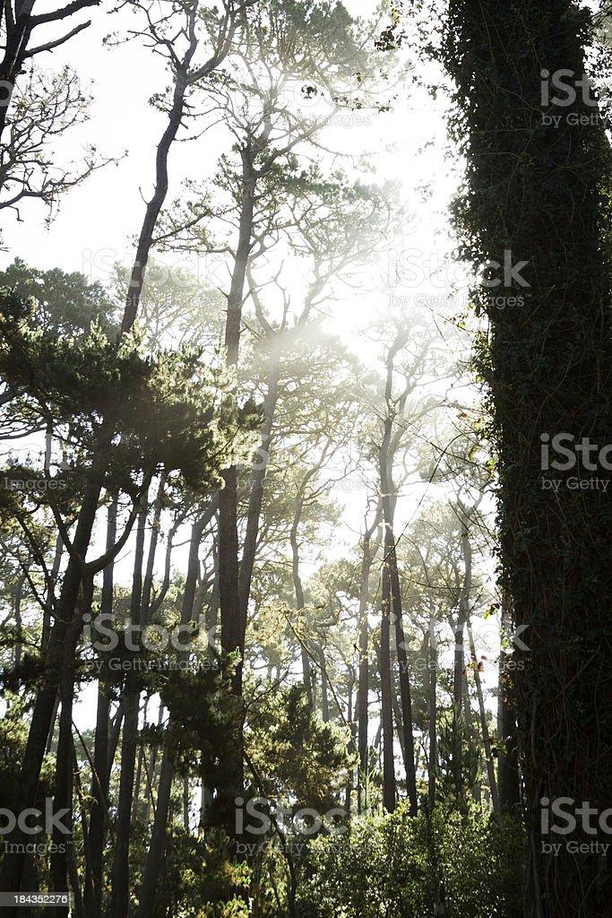 Sunlight Behind Trees royalty-free stock photo