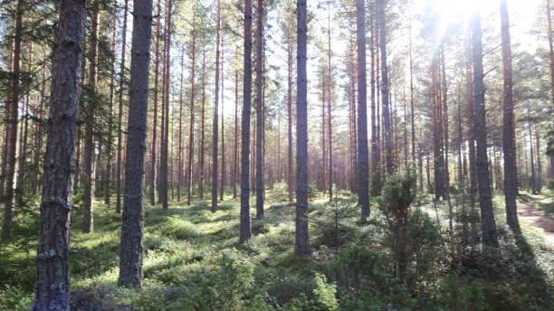 solljus mellan träden - pine forest sweden bildbanksfoton och bilder