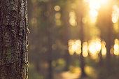 Sunlight bokeh through Trees in Evergreen forest - UK