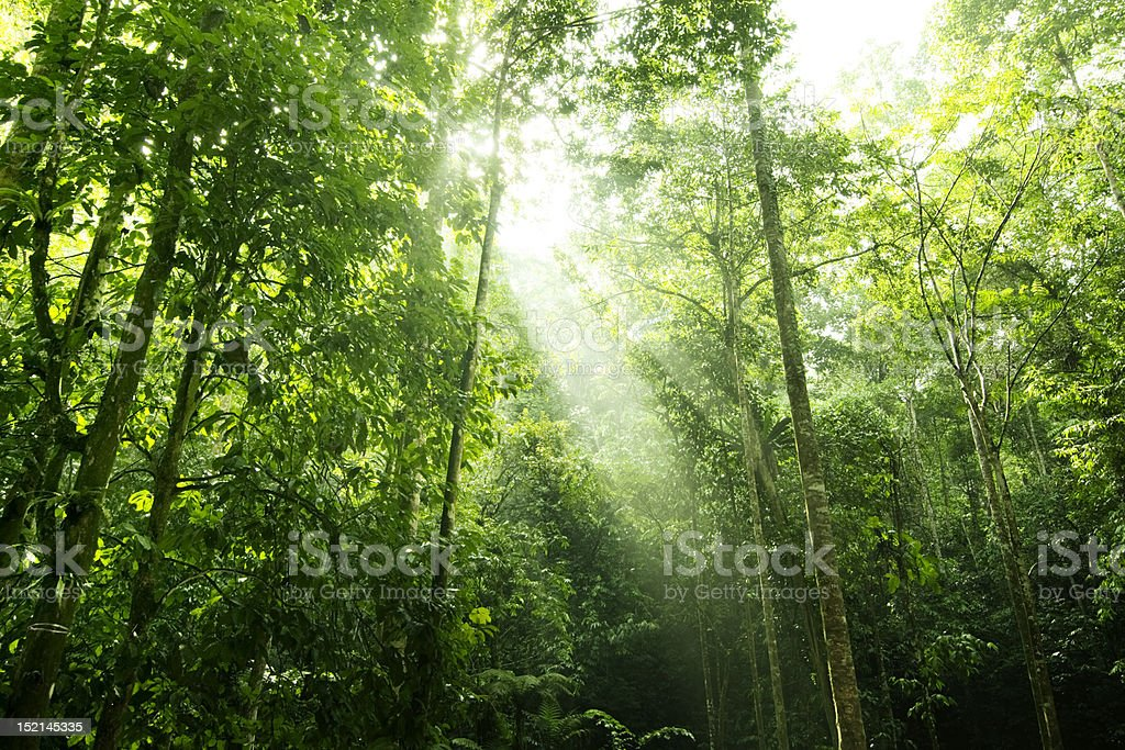 Sunlight cascades through the green rainforest canopy royalty-free stock photo