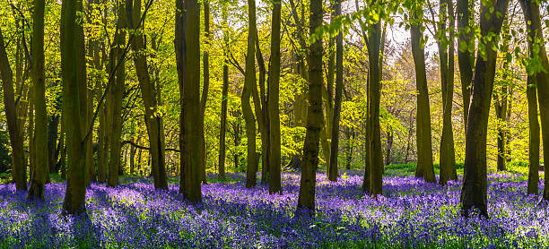 Sunlight casts shadows across bluebells in a wood The sun illuminates a carpet of blue and purple bluebells deep in woodland in Oxfordshire bluebell stock pictures, royalty-free photos & images