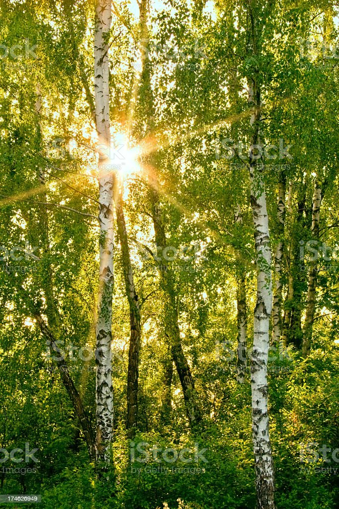 Sunlight coming through trees in a forest royalty-free stock photo