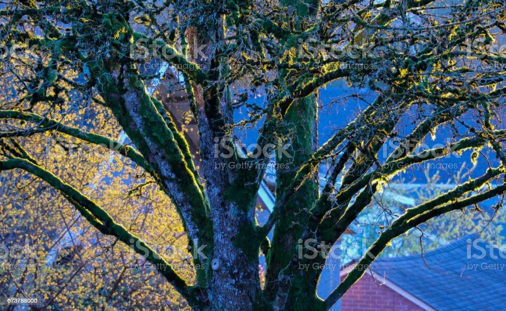 Altın ağaç dalları güneş ışığı dansları royalty-free stock photo