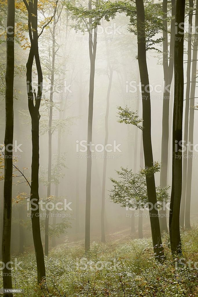 Sunlight falls into a misty forest royalty-free stock photo