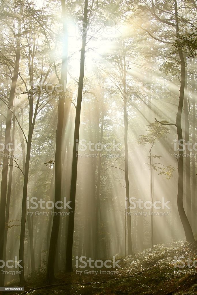 Sunlight falls into the autumn woods royalty-free stock photo