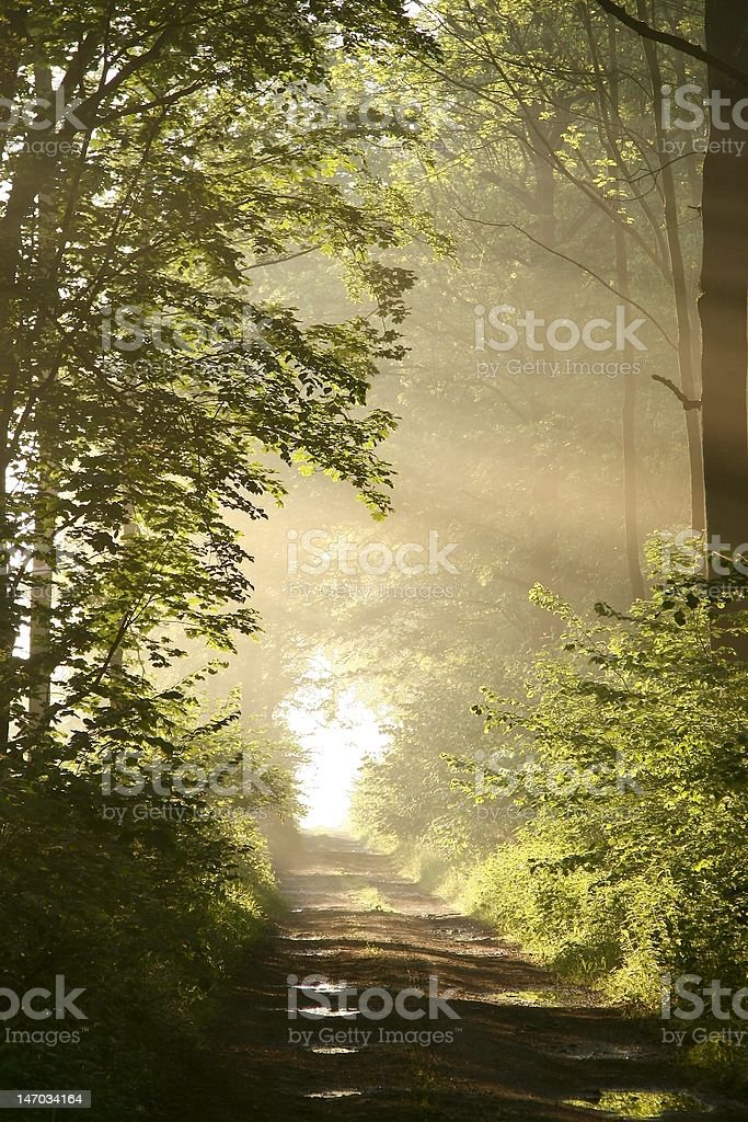 Sunlight falls into the misty woods royalty-free stock photo