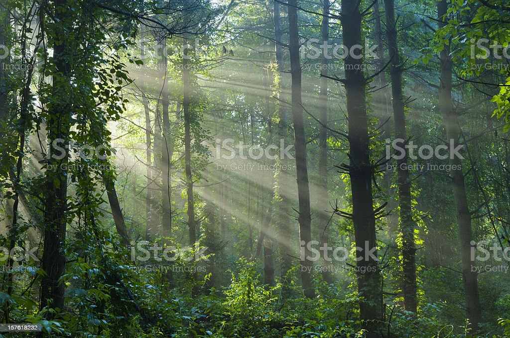 Sunlight Filtering Through a Foggy Forest in Summer stock photo