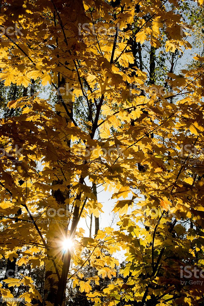 Sunlight going through the yellow foliage (sunset in autumn forest) royalty-free stock photo
