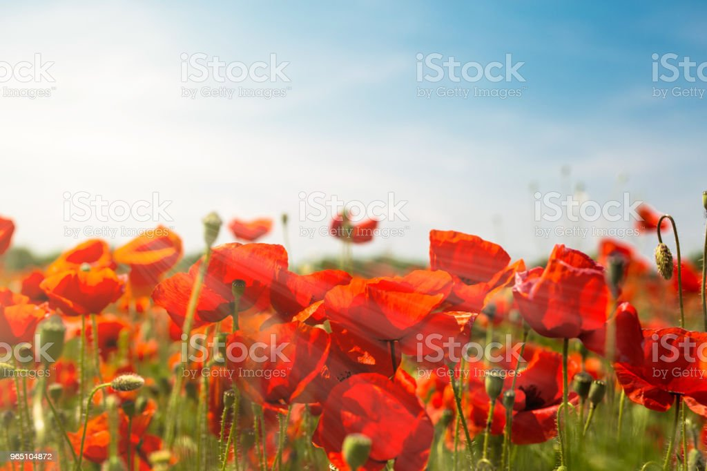 Sunlight in a beautiful poppy field zbiór zdjęć royalty-free