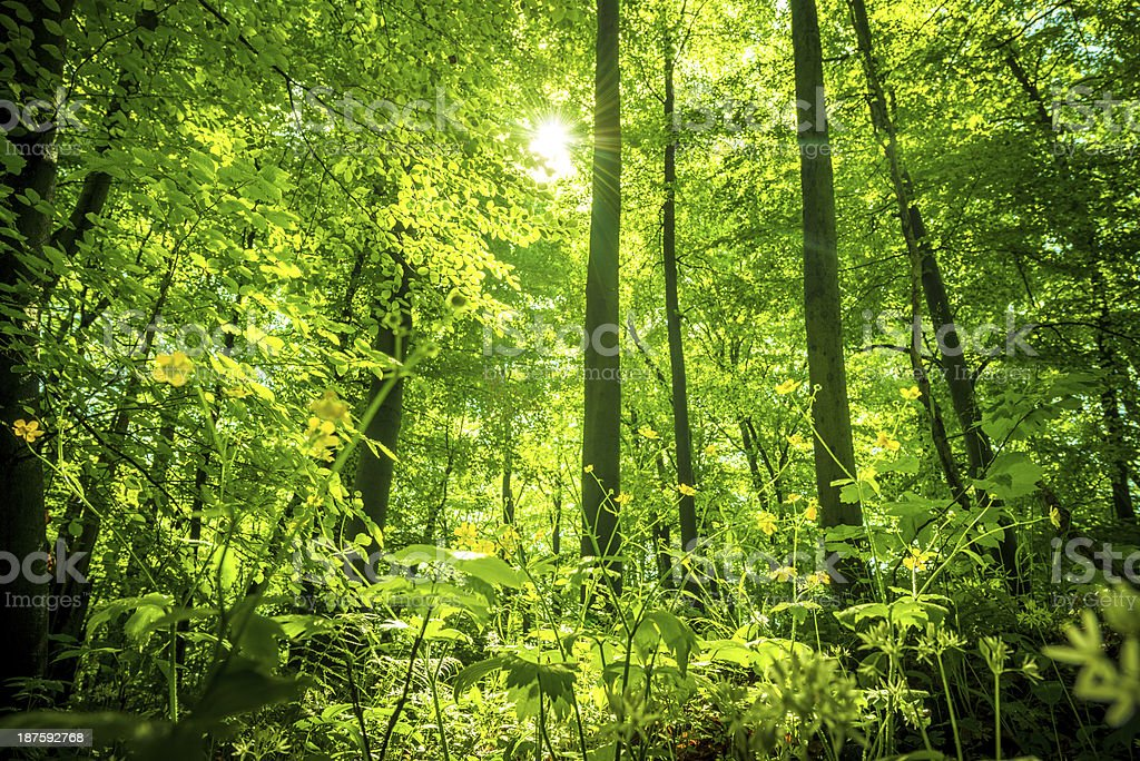sunlight in a Beech Tree Forest royalty-free stock photo