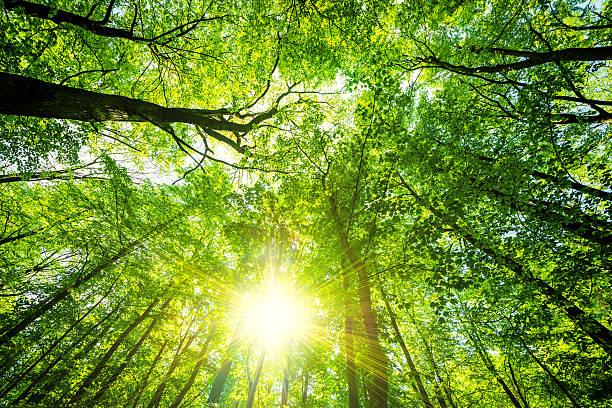 Árbol de haya luz del sol en un bosque - foto de stock