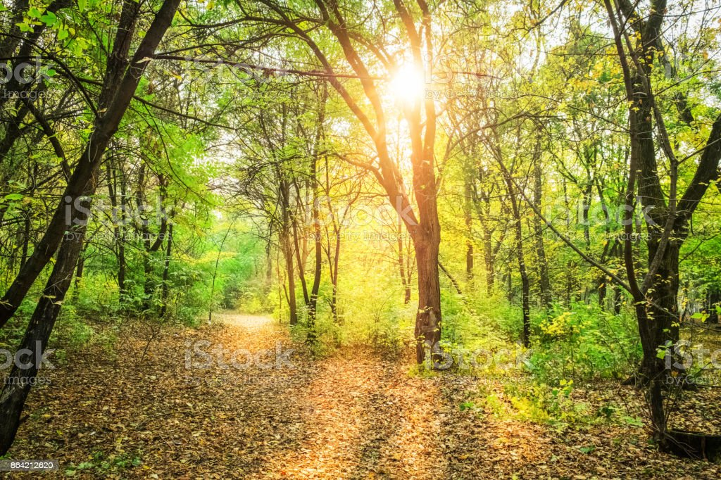 sunlight in autumn forest with green trees and fallen yellow leaves royalty-free stock photo