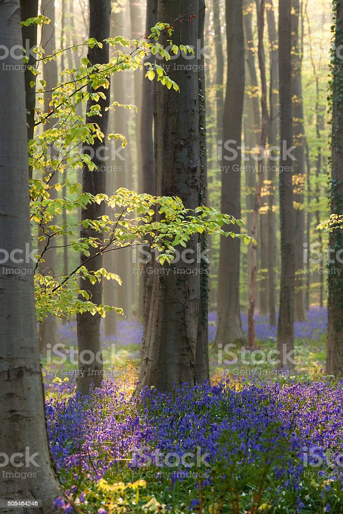 sunlight in forest with flowers bluebells stock photo
