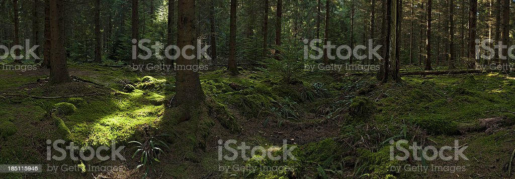 Sunlight in green forest wilderness royalty-free stock photo