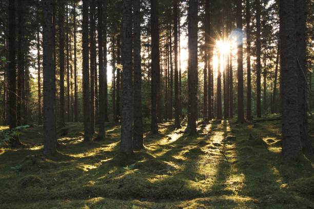 Sunlight in pine forest stock photo