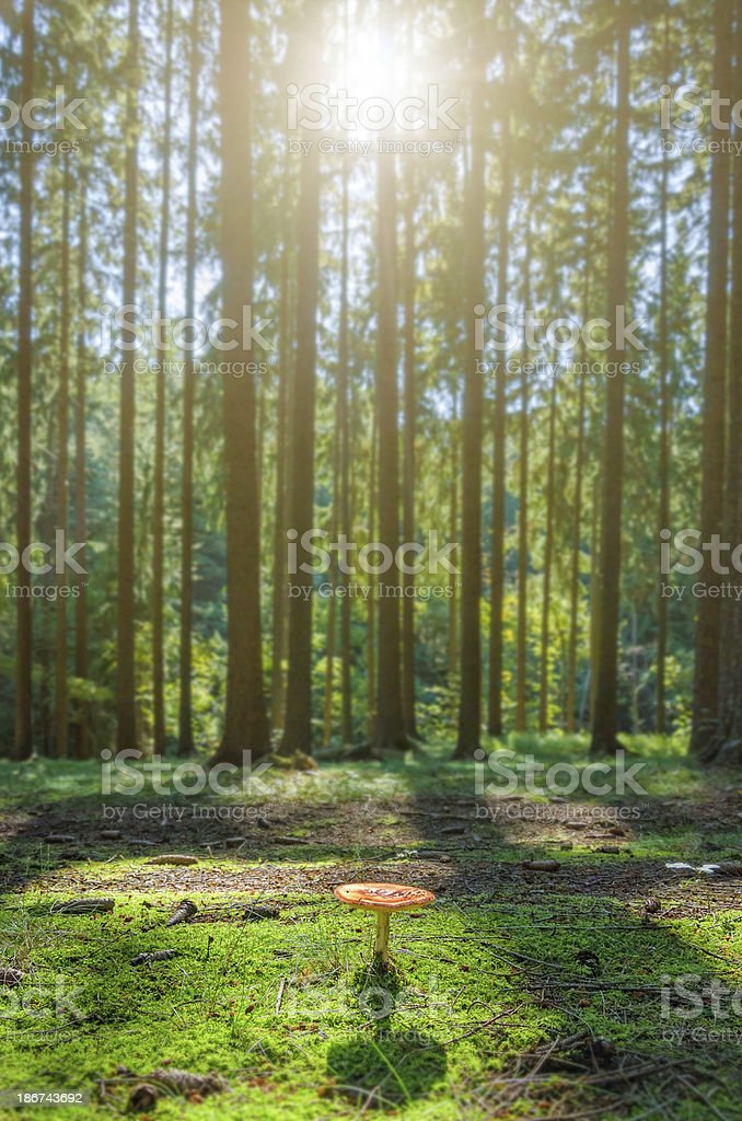 sunlight in pine forest with mushroom royalty-free stock photo