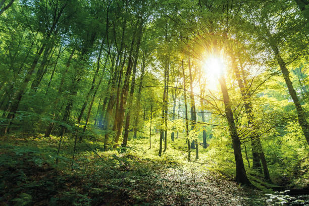sunlight in primeval beech forest stock photo