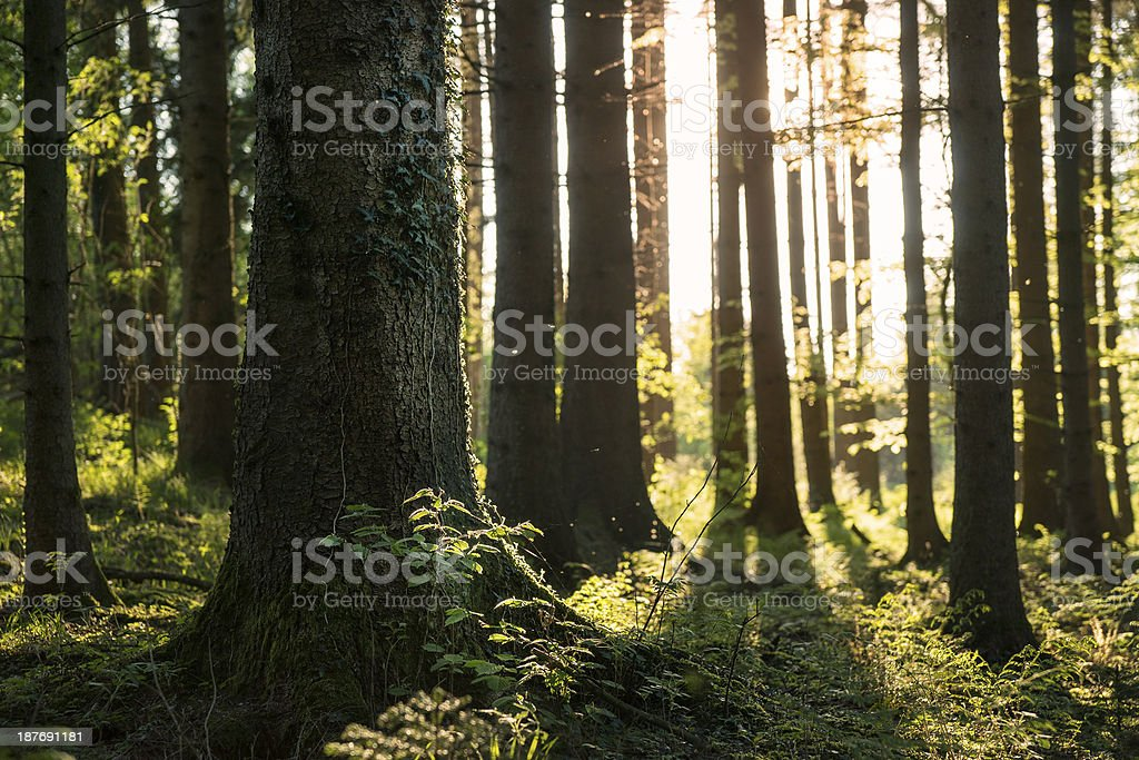 Sunlight in Spring Forest stock photo