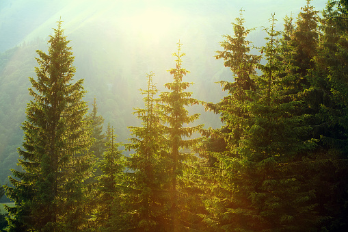 Sunlight in spruce foggy forest on background of mountains
