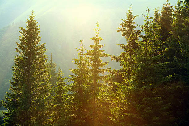 sunlight in spruce foggy forest on background of mountains - pine tree stock photos and pictures