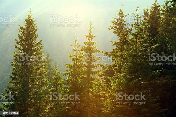 Photo of Sunlight in spruce foggy forest on background of mountains