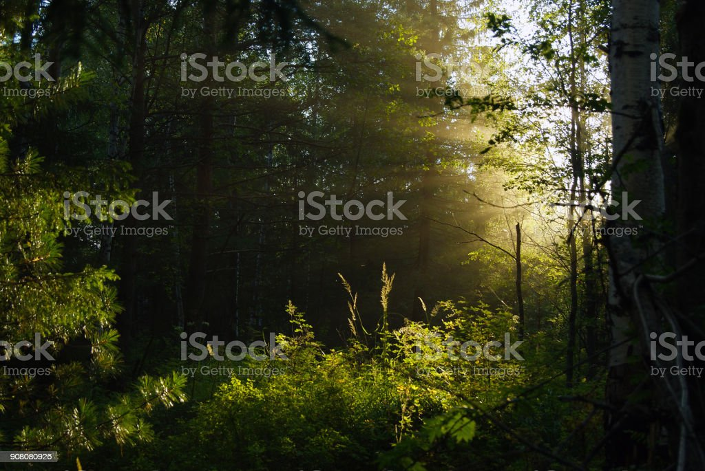 sunlight in the forest thicket stock photo