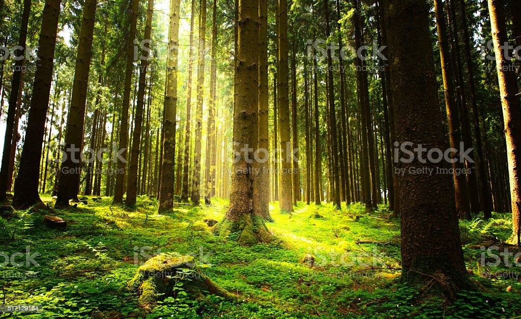 Luz solar na floresta verde. - foto de acervo