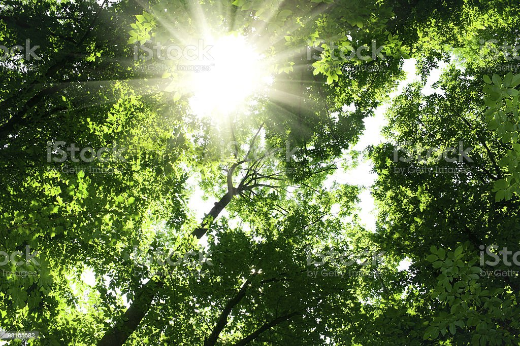 sunlight in trees of green forest royalty-free stock photo