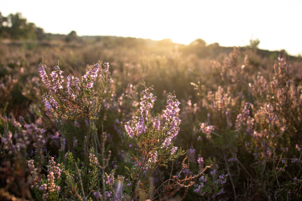 Sunlight on flowering heath Sunlight on flowering heath in the Lueneburger Heath, Germany lüneburg stock pictures, royalty-free photos & images