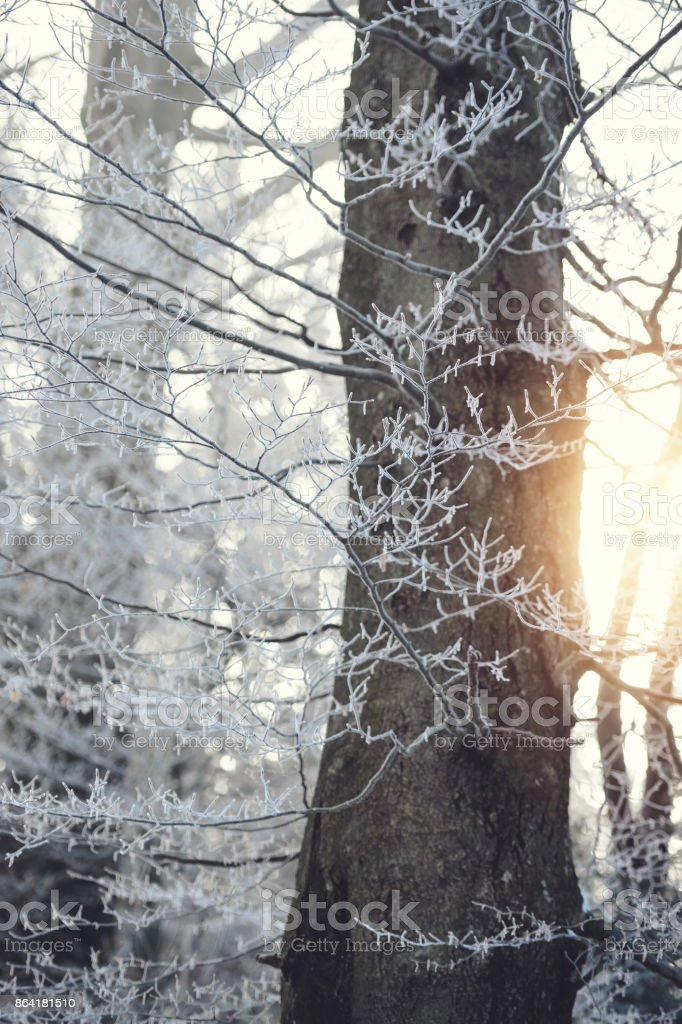 Sunlight over Winter Forest royalty-free stock photo
