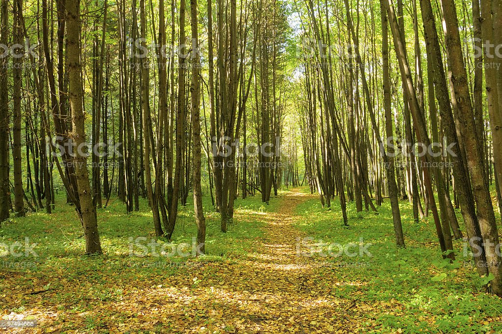 sunlight rays in the forest royalty-free stock photo