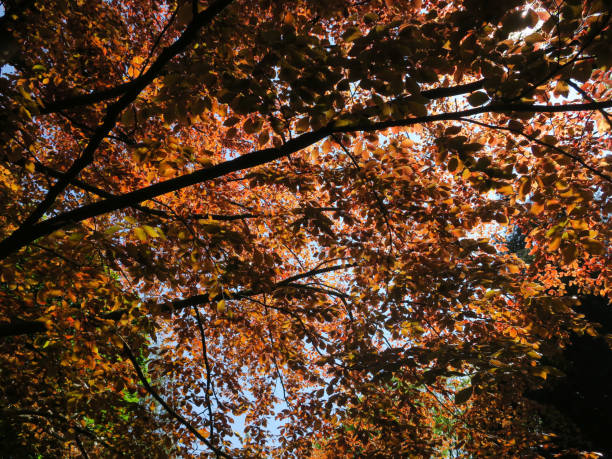 zonlicht dat door de bladeren en de takken van een grote rode beuk glanst foto